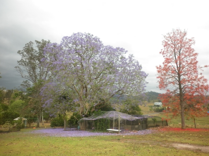 the jacaranda and flame tree in our back yard.