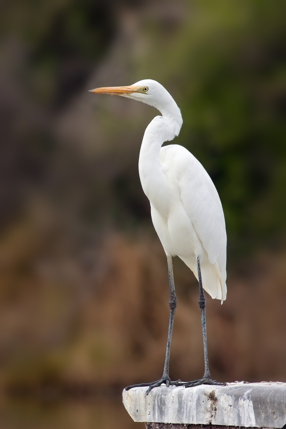 The Eastern Great Egret