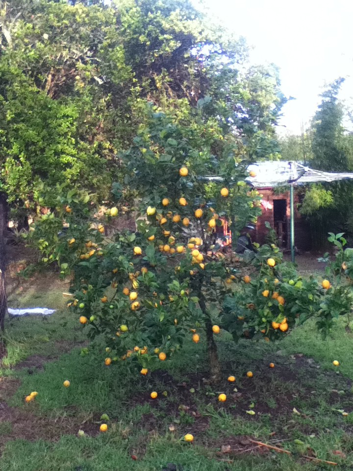 Our little lemon tree - still stacked with lemons after all that processing!