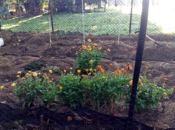 Up towards the back of our one acre, near the chicken pen, is our vegetable garden. Any plant that has survived the winter is a true hardy survivor :) Calendulas, parsley, silverbeet, sorrel and oregano have all earned my respect this year :)