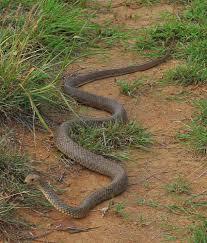 Australian Eastern Brown Snake.