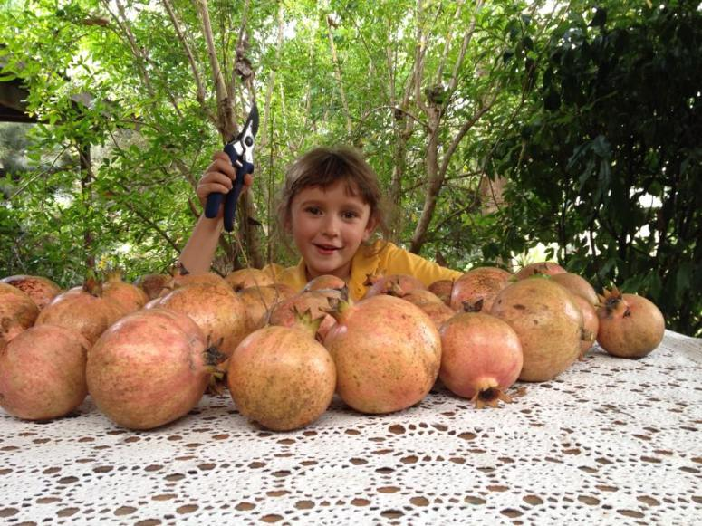 This is our biggest harvest of pomegranates by far.